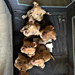 Puppies red nose pits pure breed